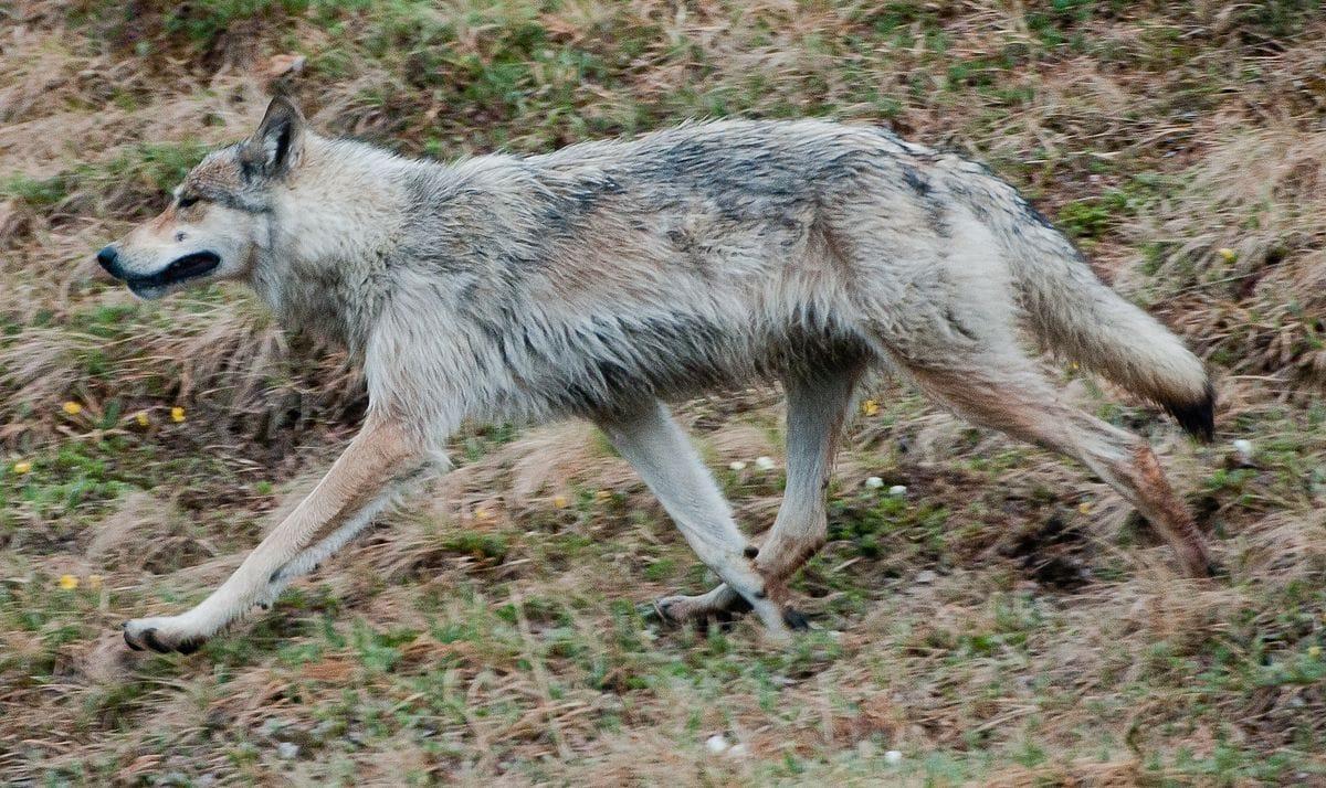 Alaskan Interior Wolf - (Canis lupus pambasileus)