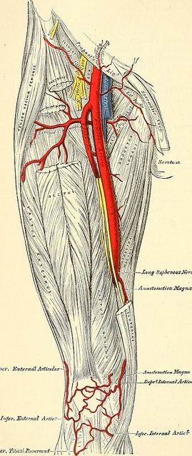 Common Femoral Artery