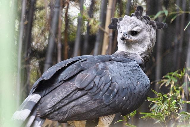 Harpy Eagle - (Harpia harpyja)