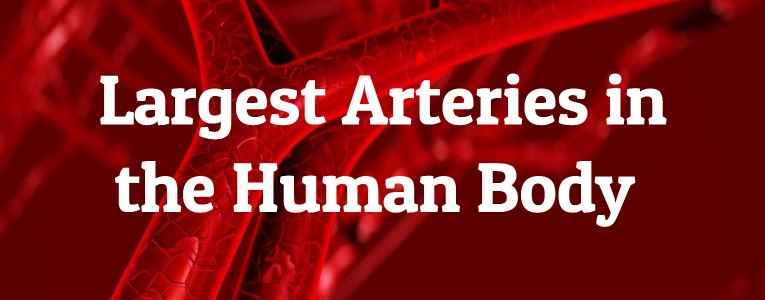 5 Largest Arteries in the Human Body