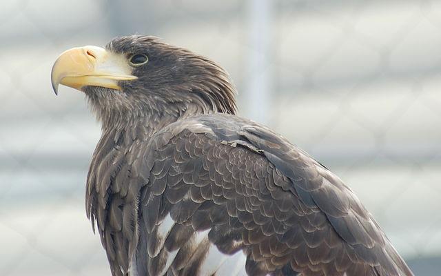 Steller's Sea Eagle - (Haliaeetus pelagicus)