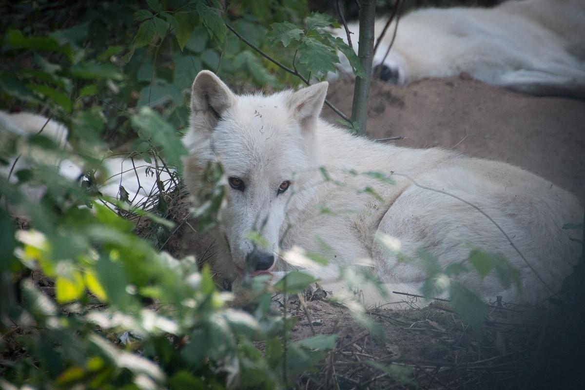 Tundra Wolf - (Canis lupus albus)