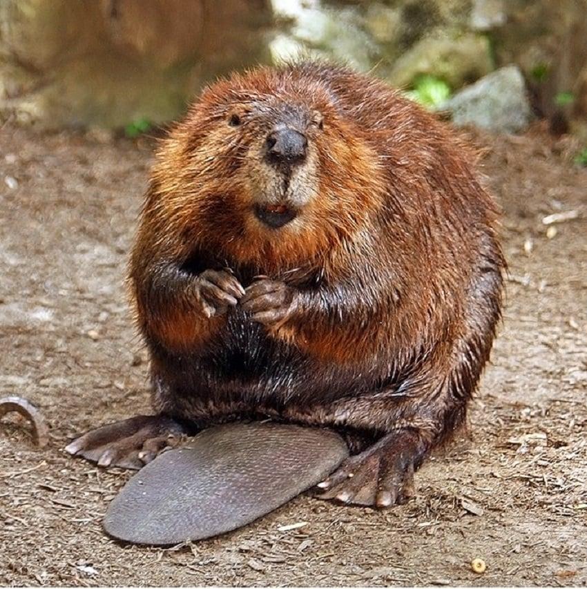 North American Beaver - (Castor canadensis)