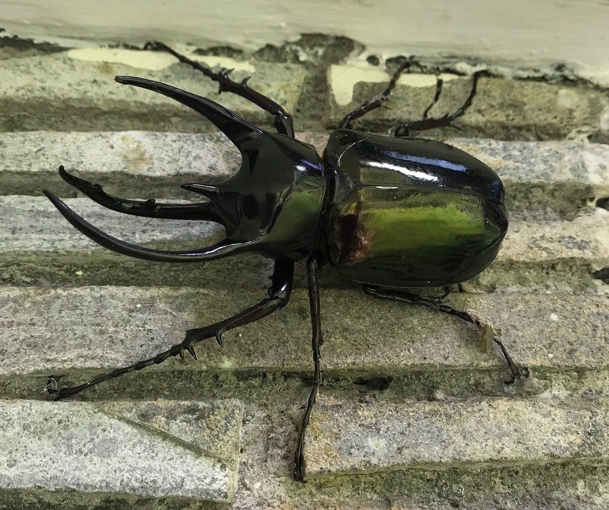 Atlas Beetle - (Chalcosoma atlas)