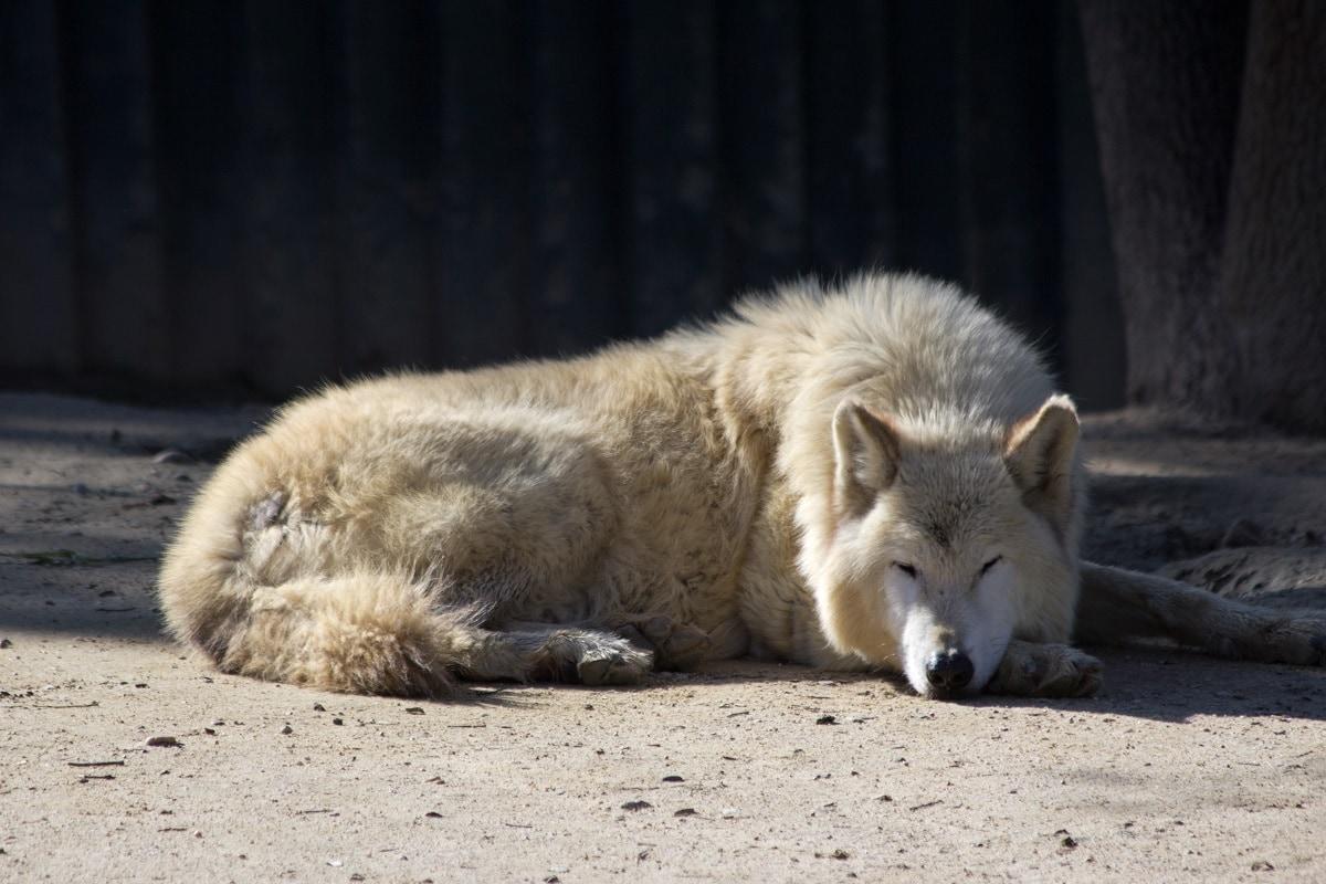 Mackenzie Valley Wolf - (Canis Lupus Occidentalis)