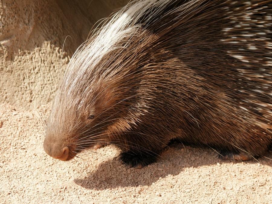 Cape Porcupine - (Hystrix africaeaustralis)