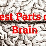 Largest parts of the brain