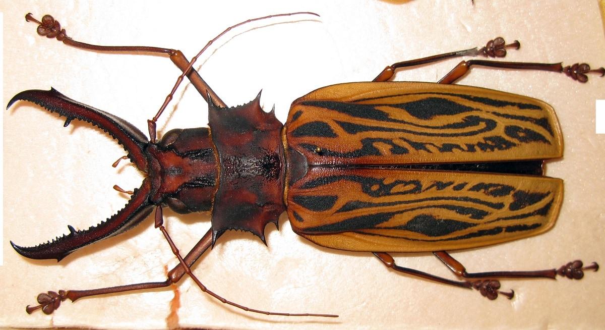 Sabertooth Longhorn Beetle