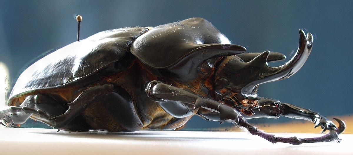 Actaeon beetle - (Megasoma actaeon)