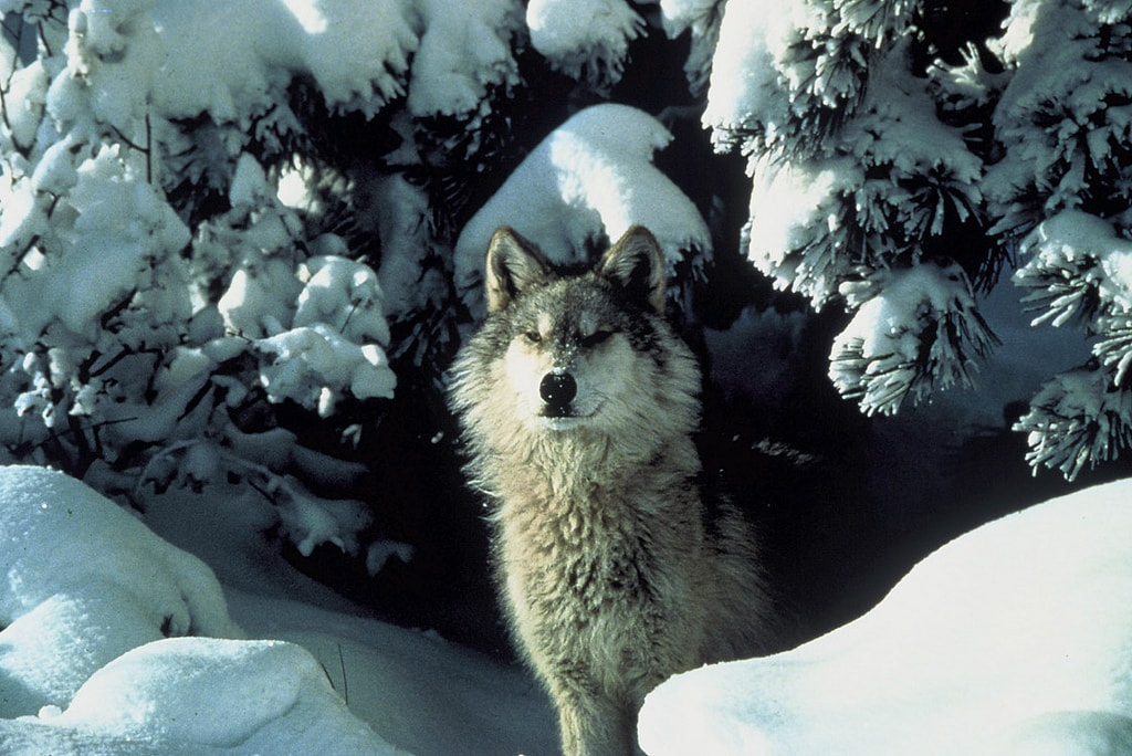 Great Plains Wolf - (Canis lupus nubilus)