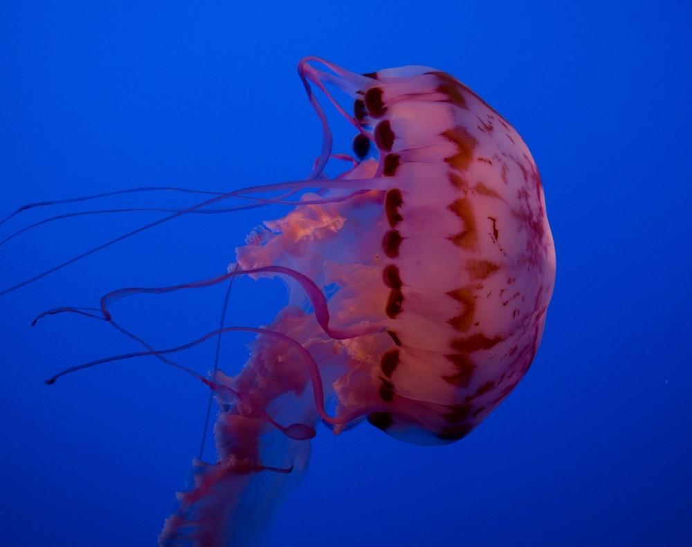 Purple Striped Jelly
