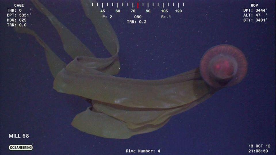 Stygomedusa gigantea