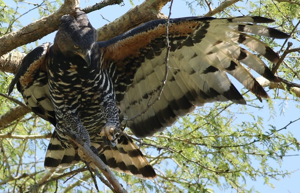 African Crowned Eagle