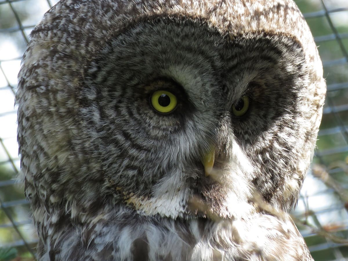 Great Grey Owl - (Strix nebulosa)