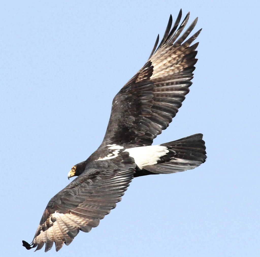 Verreaux's eagle (Black eagle)
