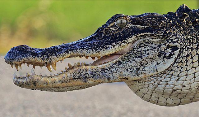 American Alligator - (Alligator mississippiensis)