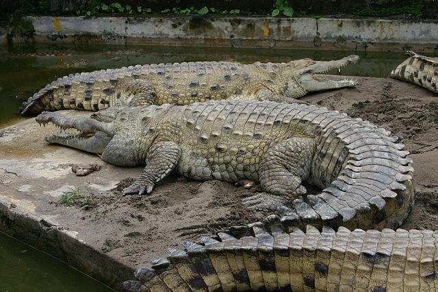 Orinoco Crocodile - (Crocodylus intermedius)