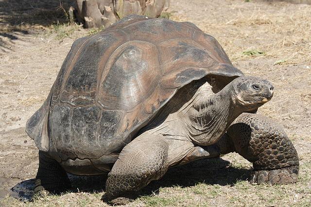 Galápagos Tortoise - (Chelonoidis nigra)