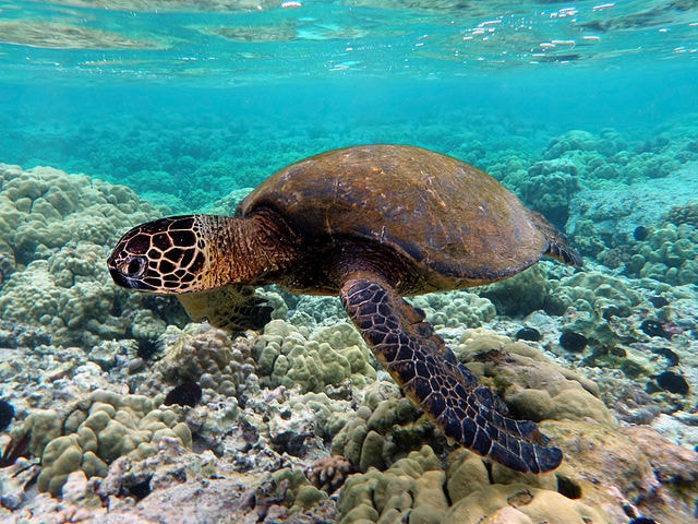 Green Sea Turtle - (Chelonia mydas)