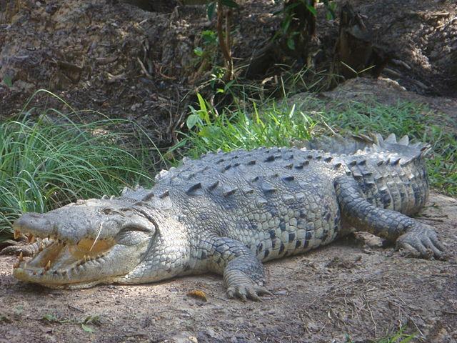 American Crocodile - (Crocodylus acutus)