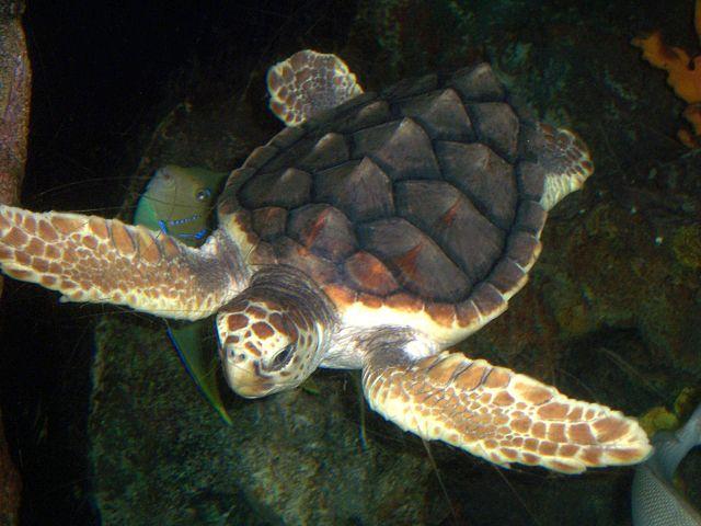 Loggerhead Sea Turtle - (Caretta caretta)