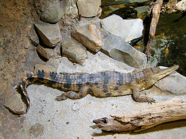 Slender-Snouted Crocodile - (Mecistops cataphractus)