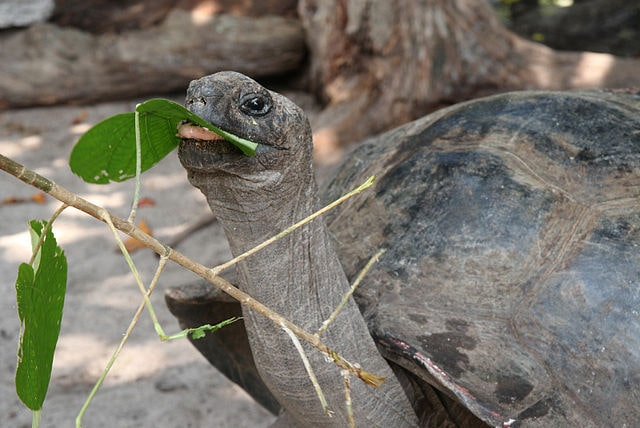 Aldabra Giant Tortoise - (Aldabrachelys gigantea)