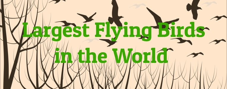 Largest Flying Birds in the World