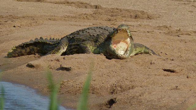 Nile Crocodile - (Crocodylus niloticus)
