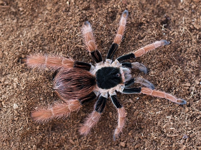 Colombian Giant Tarantula