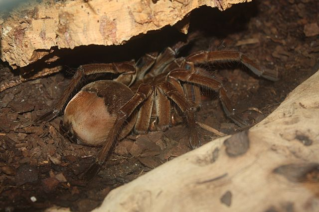 The Goliath Birdeater