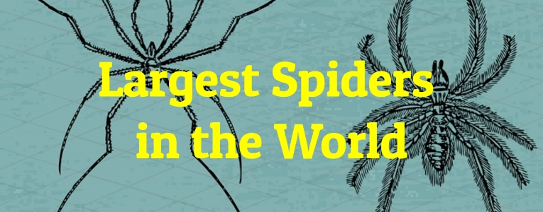 Largest-Spiders