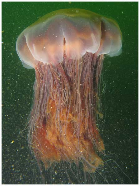 Lion's Mane Jellyfish