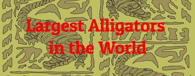 largest-alligators