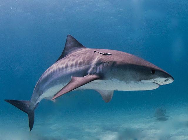 Tiger Shark