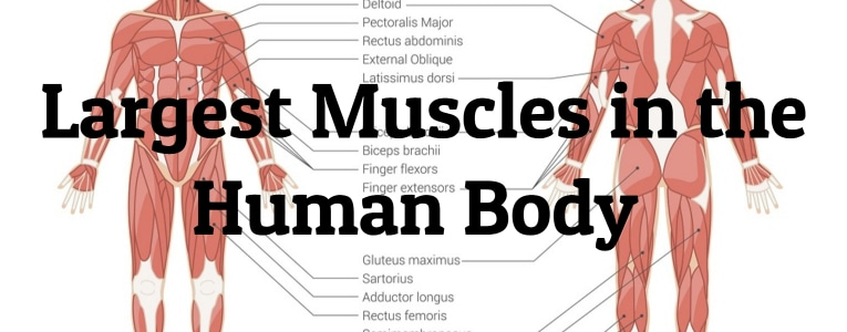 largest-human-muscles