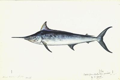 Alfred's Black Marlin
