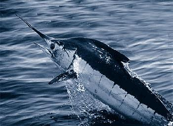 Paulo's Atlantic Blue Marlin