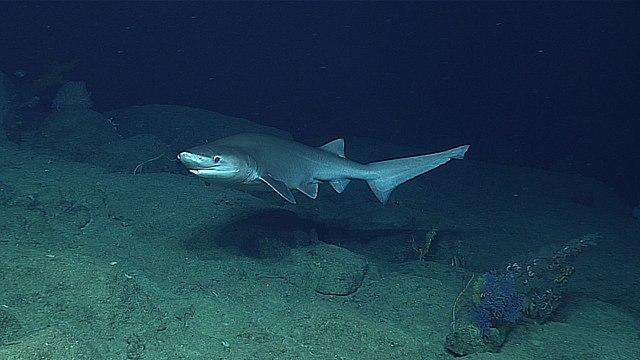 Clemens' Sixgill Shark
