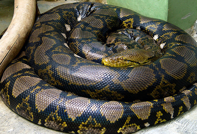 Reticulated_python