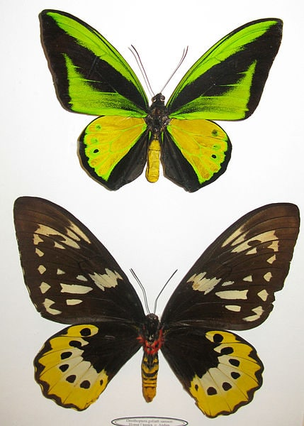 Goliath_Birdwing