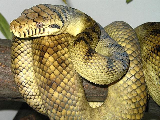 Amethystine_scrub_python