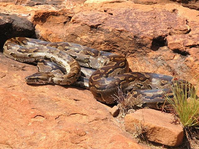 African_rock_python