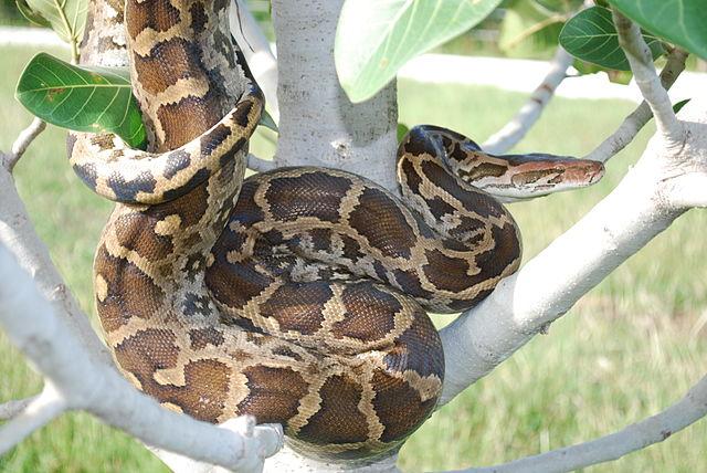Indian_python