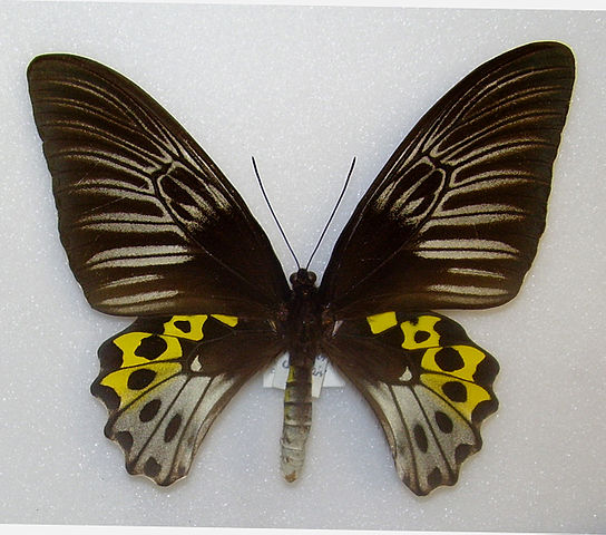 Rippons_Birdwing