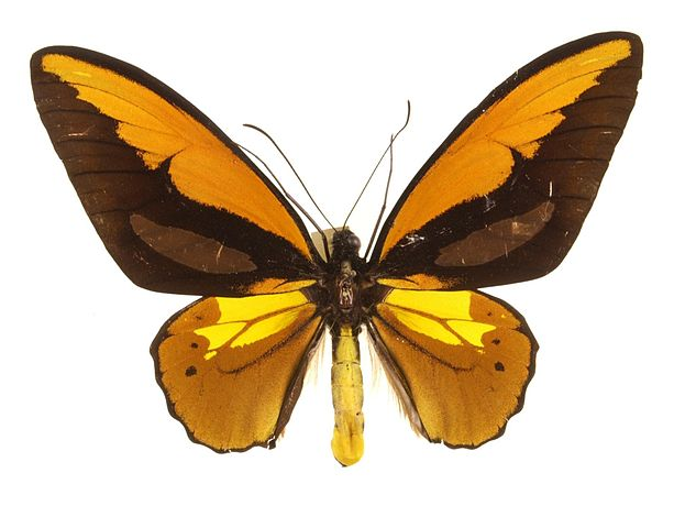 Wallaces_Golden_Birdwing