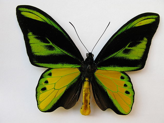 Chimaera_Birdwing