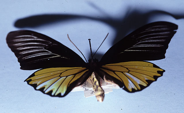 Magellan_Birdwing