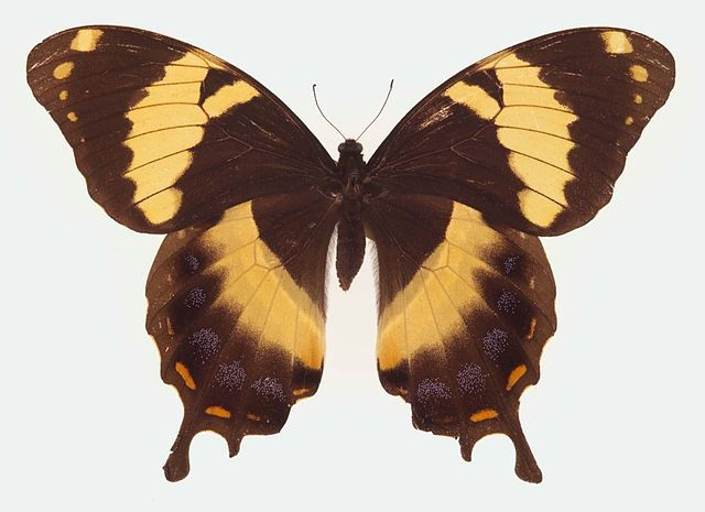 Homerus_Swallowtail