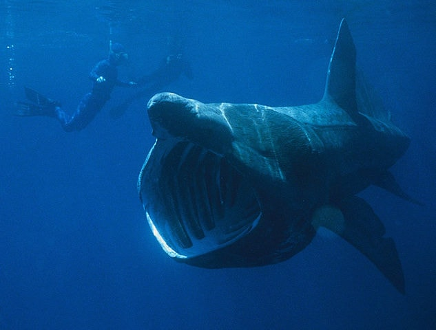 Basking_Shark